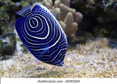 Pomacanthus navarchus blue girdled angel sea fish