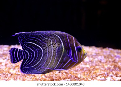Pomacanthus semicirculatus, the Koran angelfish or semicircle angelfish, is a ray-finned fish in the family Pomacanthidae. It is found in the Indo-West Pacific Ocean.
