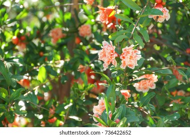 Pomegranate blossoms ( Punica granatum ) on  trees in  Perge,  Turkey
