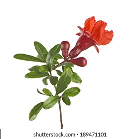 Pomegranate branch with flower