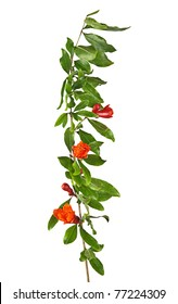 Pomegranate branch with flowers