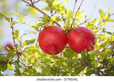 pomegranate branch with fruits