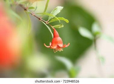 Pomegranate flower