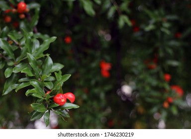 pomegranate flower and buds in may