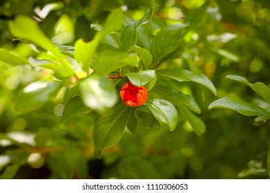 Pomegranate flower and plant (Pesaro, Italy)
