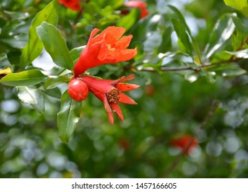Pomegranate flowers and green leaves in nature. Pomegranate tree (Punica granatum) red flower. Close up pomegranates on tree banches in green nature. Armenia