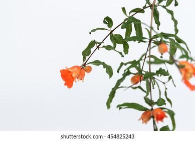 Pomegranate flowers on white background