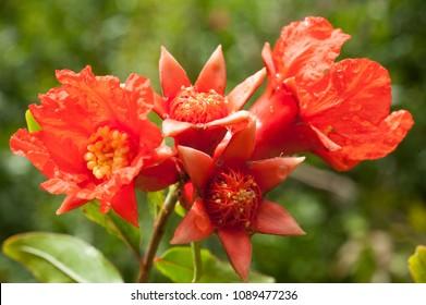 Pomegranate flowers. Ripening   pomegranate on  tree.