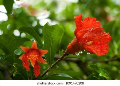 Pomegranate flowers.ripening pomegranates on branch.