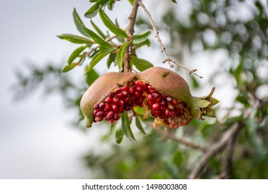 Pomegranate fruit burst after getting ripe in the branch of a pomegranate tree.