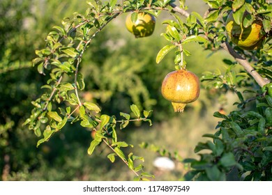 Pomegranate fruit hanging from it's tree at a field.
