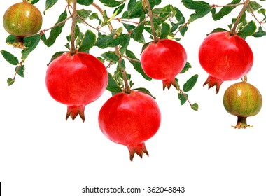 Pomegranate fruit on a tree isolated on a white background