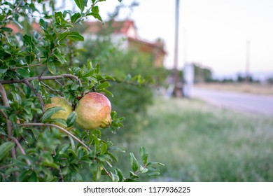 Pomegranate fruit on the tree with nice soft background.
