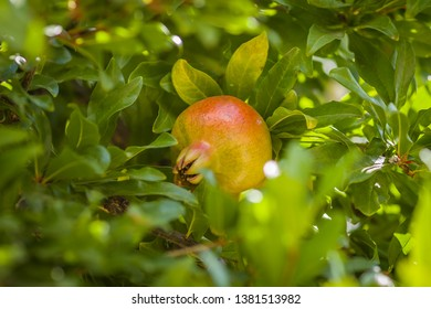 Pomegranate fruit on a tree in Spain