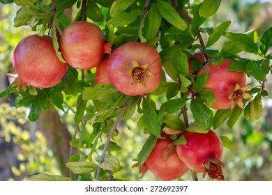 Pomegranate fruits on a branch