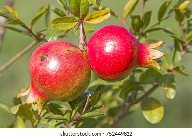 Pomegranate or Grenadine is increasingly being planted in the Mediterranean