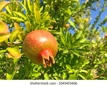 Pomegranate grows in the wild in Croatia