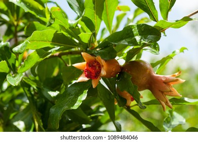 Pomegranate  with leaves  and flowers on the tree. Ripening pomegranate.