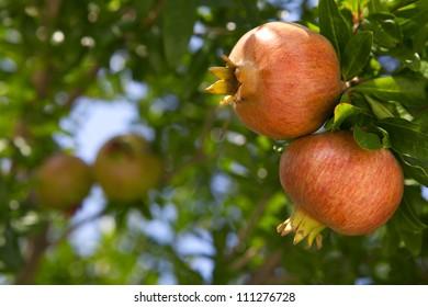 Pomegranate on branch