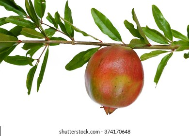 pomegranate on the branch isolated on a white background