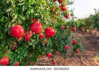 pomegranate on the tree. Rosh Hashanah symbol
