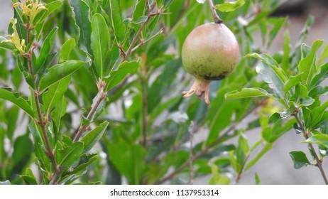 Pomegranate (Punica granatum), Hassan, Karnataka State, India