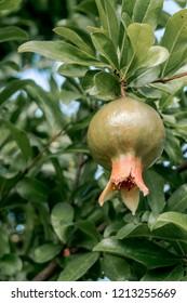 Pomegranate (Punica granatum) in orchard, Republic of Dagestan, Russia