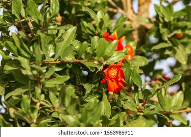 Pomegranate red flowers with small fruits on his tree