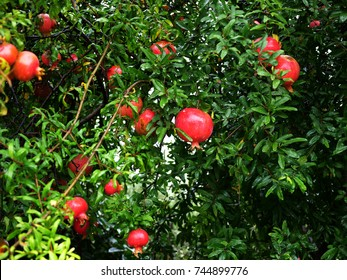 pomegranate ripens on a branch. Pomegranate, ripening on the tree with green leaves.