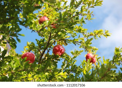 pomegranate tree against the on the blue sky