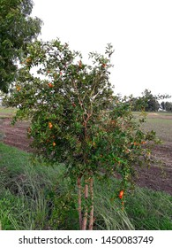 Pomegranate tree in the flowering stage. Horticultural field.