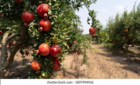 Pomegranate tree plantation in season picking