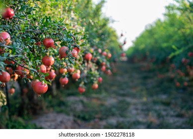 Pomegranate Trees and Fruits in Israel