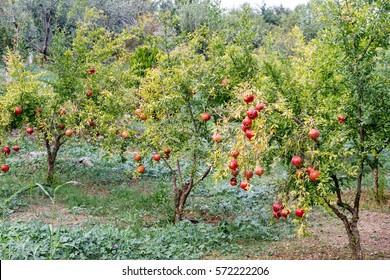 Pomegranate trees with ripe red fruits plantation. Litochoro, Pieria, Greece.