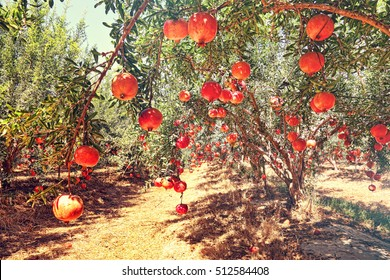 Pomegranates fruits. Trees on the plantation. Harvesting. Toned colors image