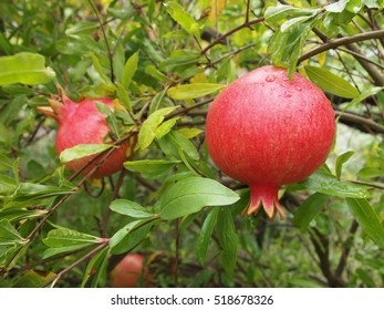 Pomegranates on Shrub