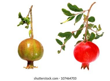 Pomegranates (ripe and unripe) isolated on the white background