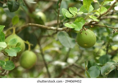 Pomelo and Ants, The ants guard grapefruit to eat aphids., Fruit in Thailand
