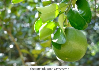 Pomelo, Citrus maxima or Citrus grandis is the largest citrus fruit from the Rutaceae family.The popular fruit is used in many Chinese festive.In this picture show Pomelo leaves and fruit on tree.