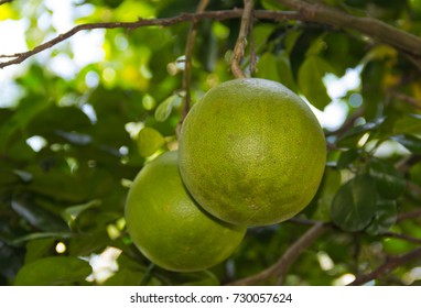 Pomelo fruit is almost ripe on tree in the garden. Awaiting harvest.