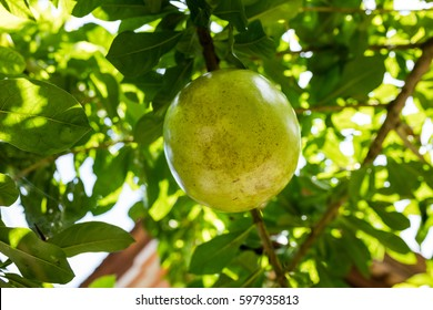 Pomelo fruit - Citrus maxima, Citrus grandis, growing on a tree