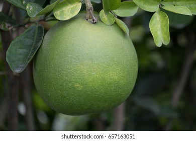 pomelo fruit in the garden