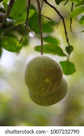 Pomelo fruit hanging on the pomelo  tree.