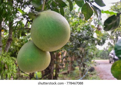 Pomelo fruit hanging on tree in the garden.
