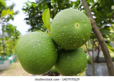 Pomelo Fruits , Grapefruit or citrus lime is a type of lemon, a pea-sour fruit. Its English name is Pomelo and the scientific name Citrus maxima or Citrus grandis.