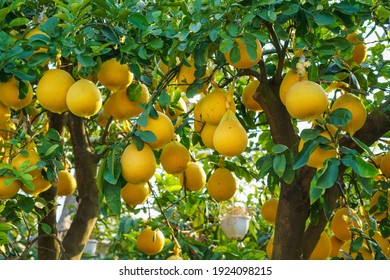 Pomelo fruits on the trees in the citrus garden. Pomelo is the traditional new year food in Vietnam