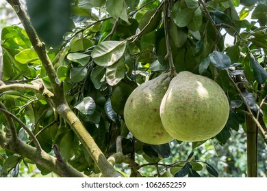 Pomelo fruits on the trees tropical fruit in Thailand.