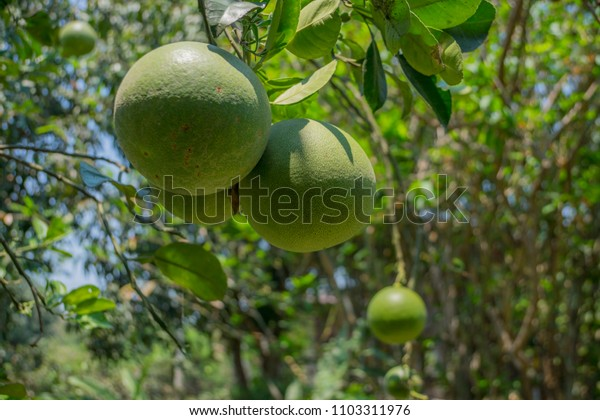 pomelo in the garden