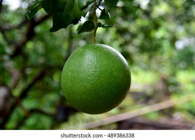 Pomelo  / Grapefruit, fresh green on the tree.