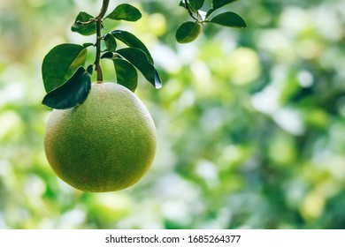 pomelo hang with branch on the pomelo tree at Phichit farm ,Thailand